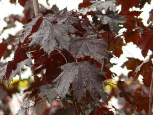 Acer platanoides ''Crimson King''