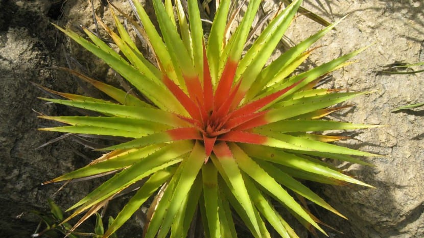 Bromelia humiis, una planta muy bonita para tener en el exterior