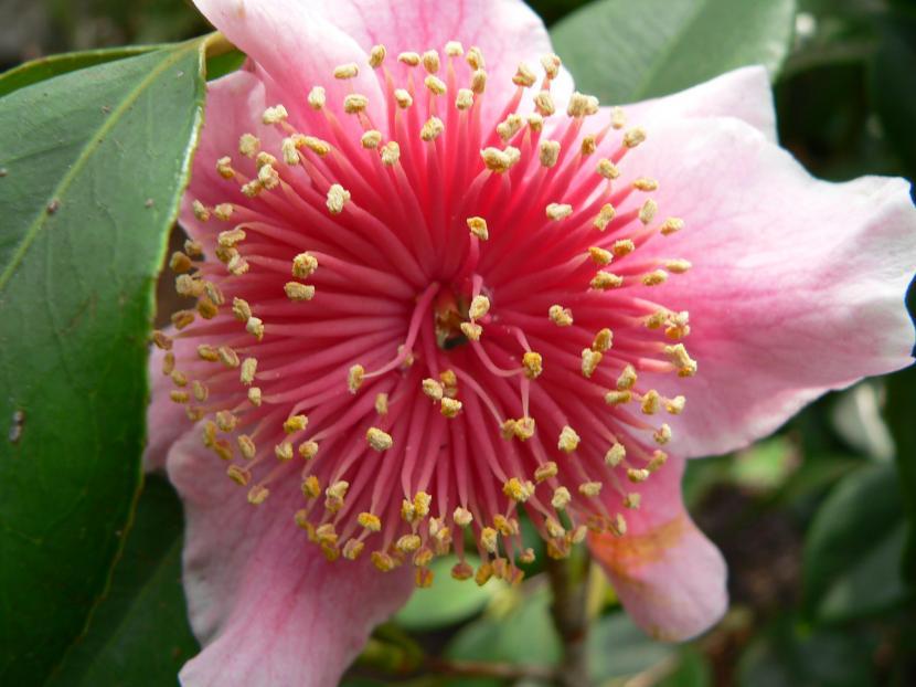 Camellia japonica 'Mikuni-no-homare'