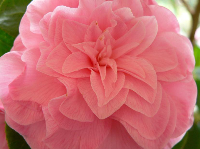 Camelia japonica 'Pink Diddi'