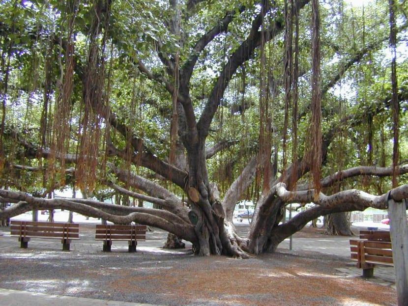 Ficus benghalensis en hábitat