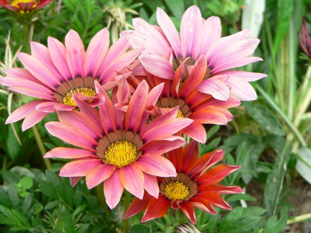 Flores de Gazania, perfectas para jardines con suelos salinos