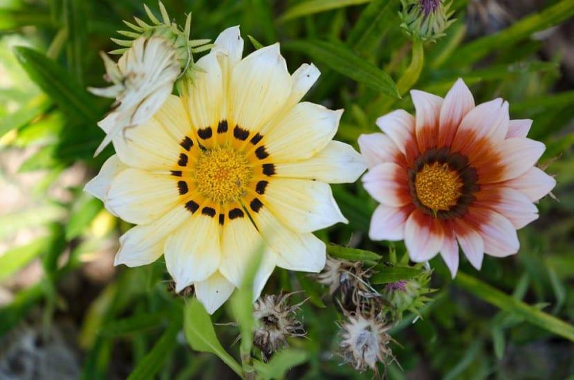 Las flores de gazania pueden ser distinto color
