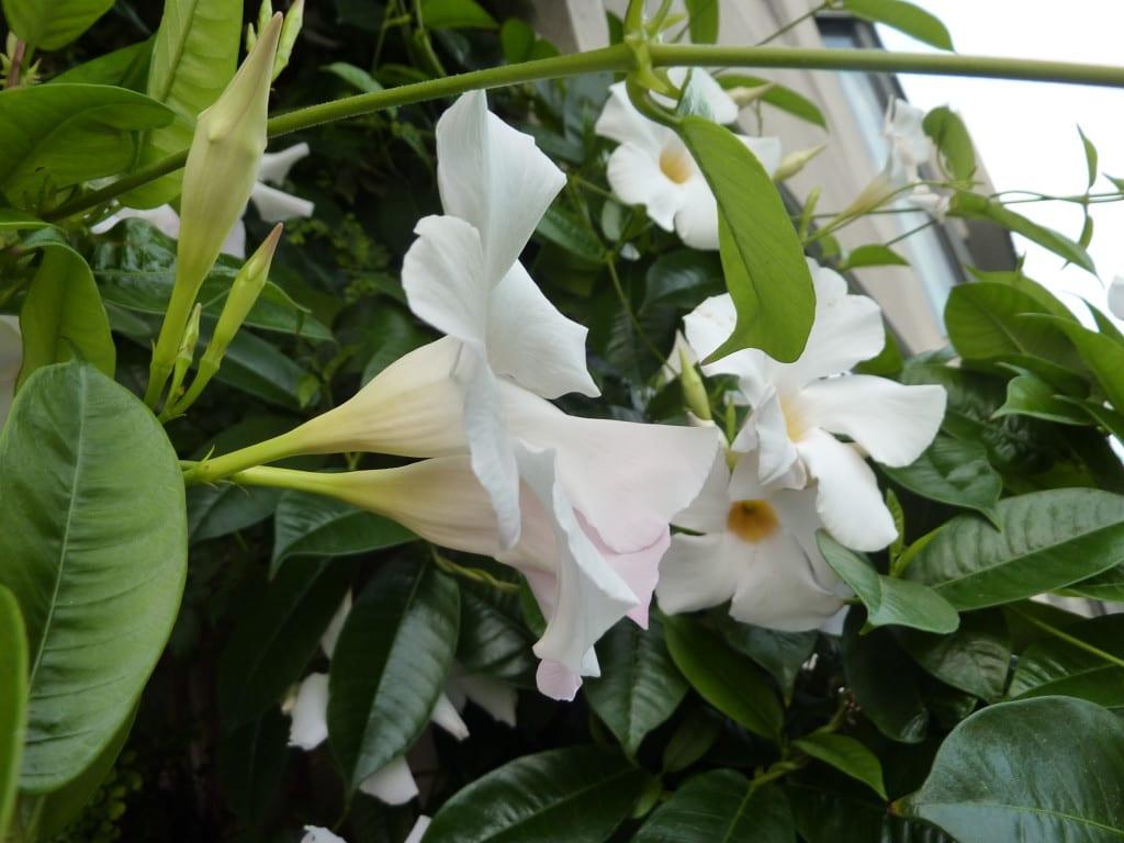Mandevilla boliviensis, una trepadora tropical