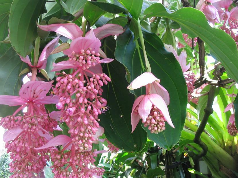 Flor de la Medinilla magnifica