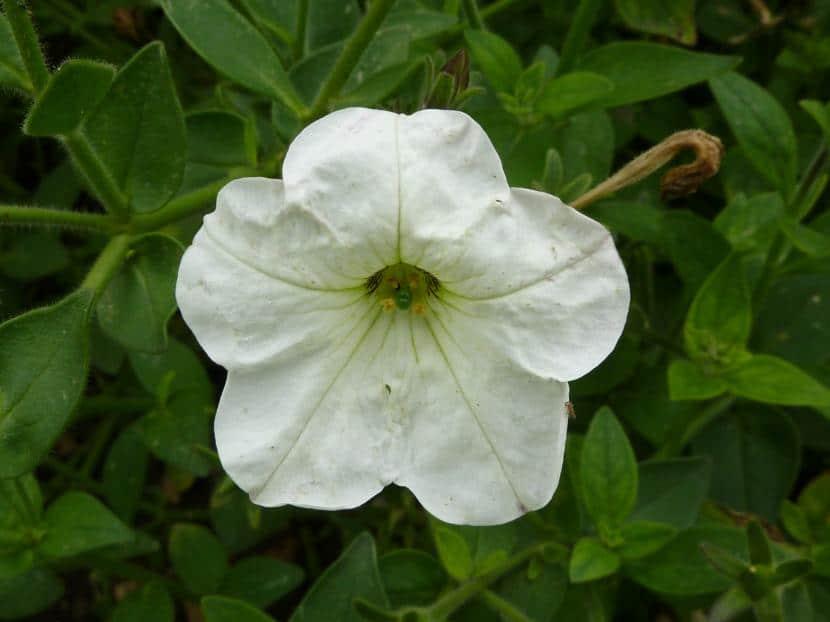 Petunia axiliaris