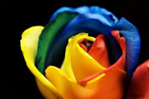 Rosa arcoiris