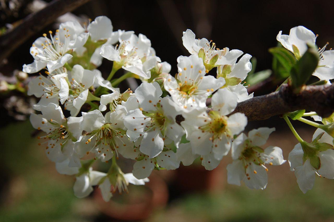 El almendro produce flores blancas o rosas