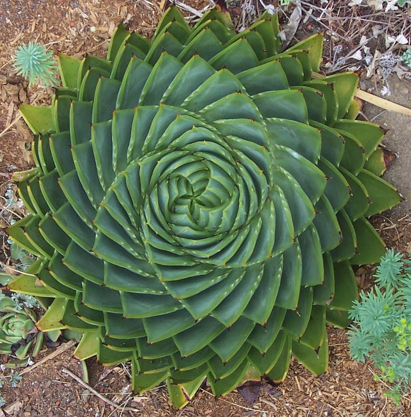 Plantas ex ticas aloe vera espiralado - Planta de aloe vera precio ...