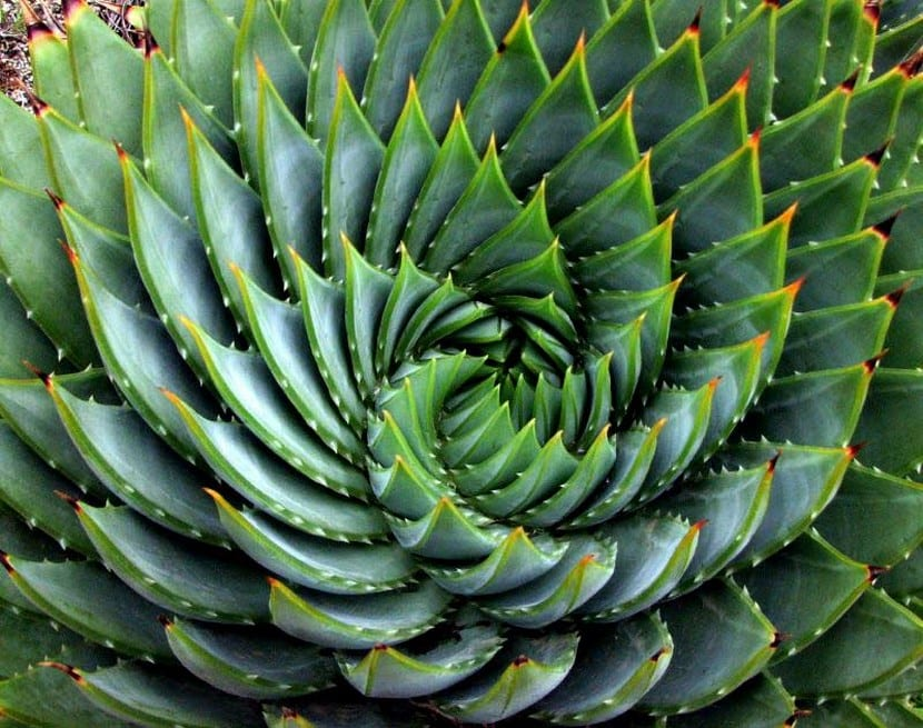 Aloe vera espiralado
