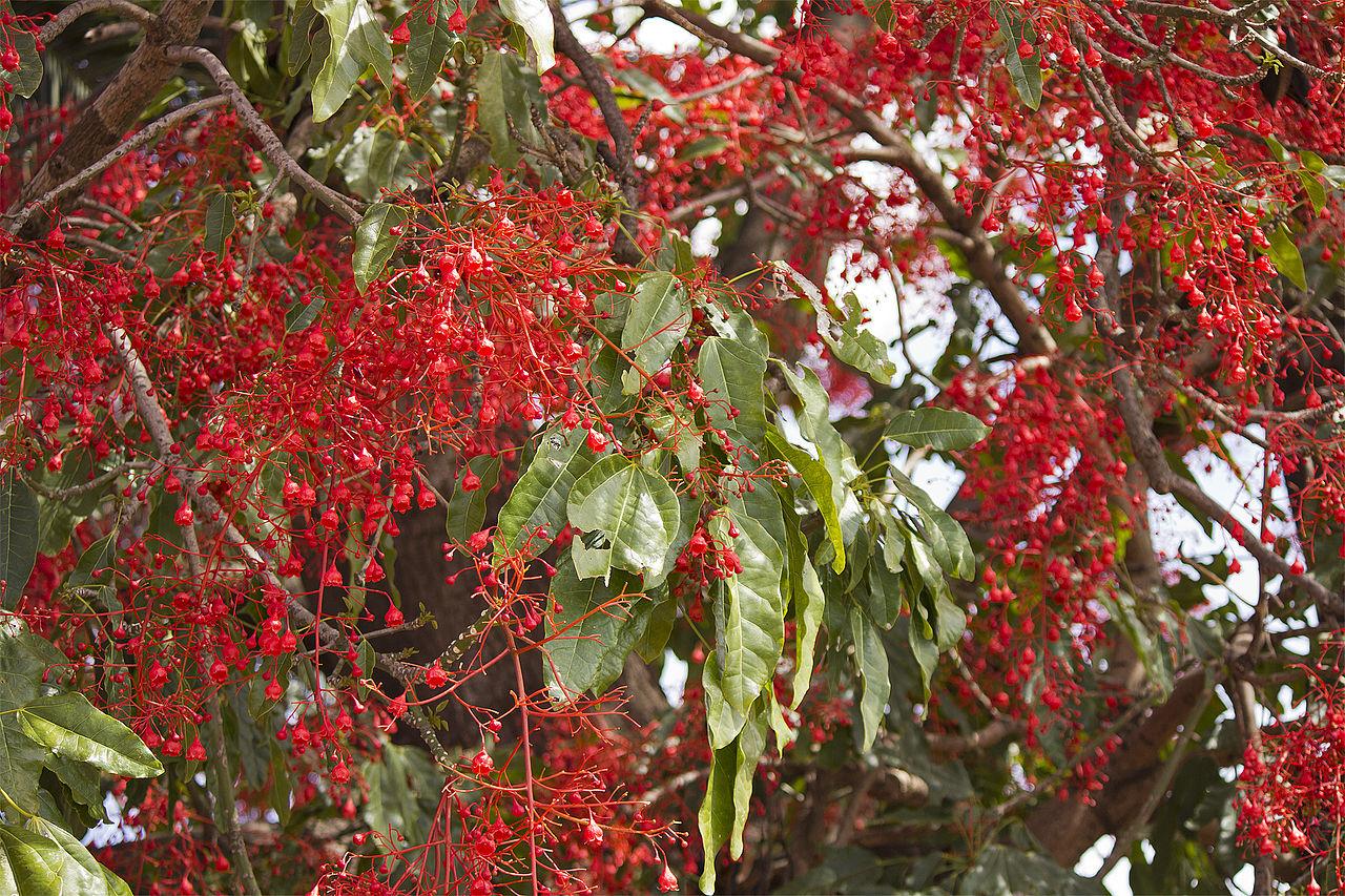 El árbol del fuego produce numerosas flores rojas