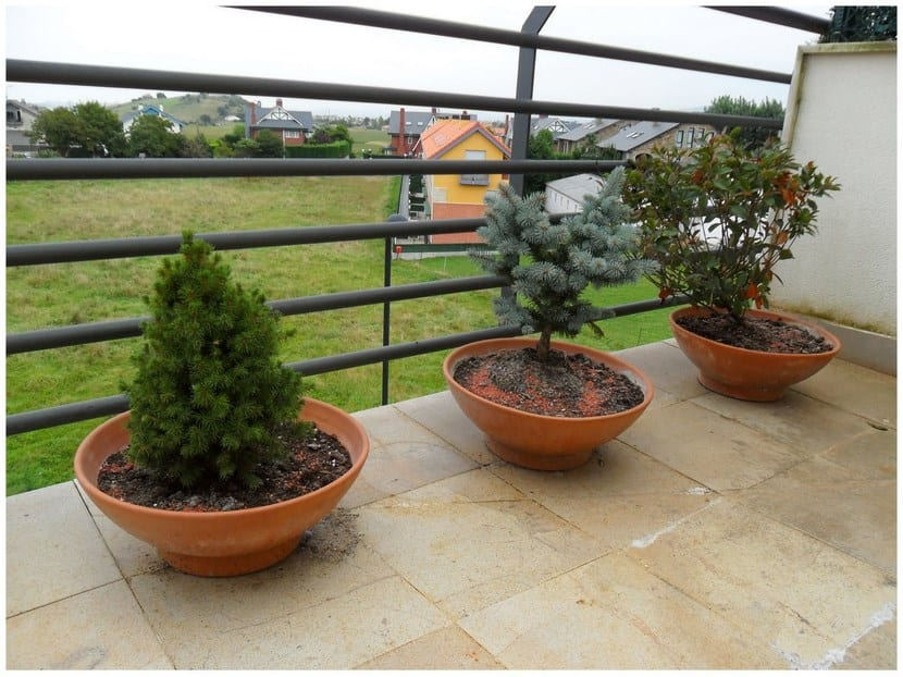 Rboles para plantar en macetas for Que plantas poner en una jardinera