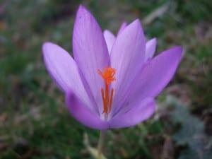 Azafrán, una flor que brota en invierno
