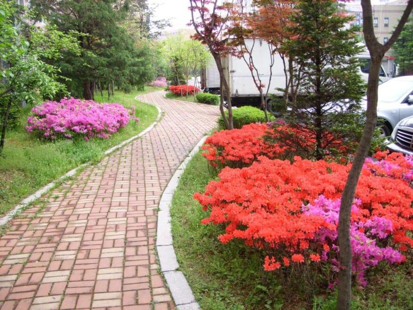 Azalea en Corea