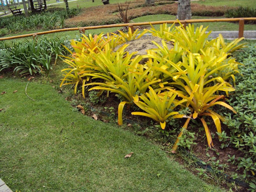 Bromelia amarella