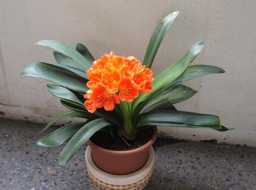 Clivia, una planta perfecta para lugares con poca luz