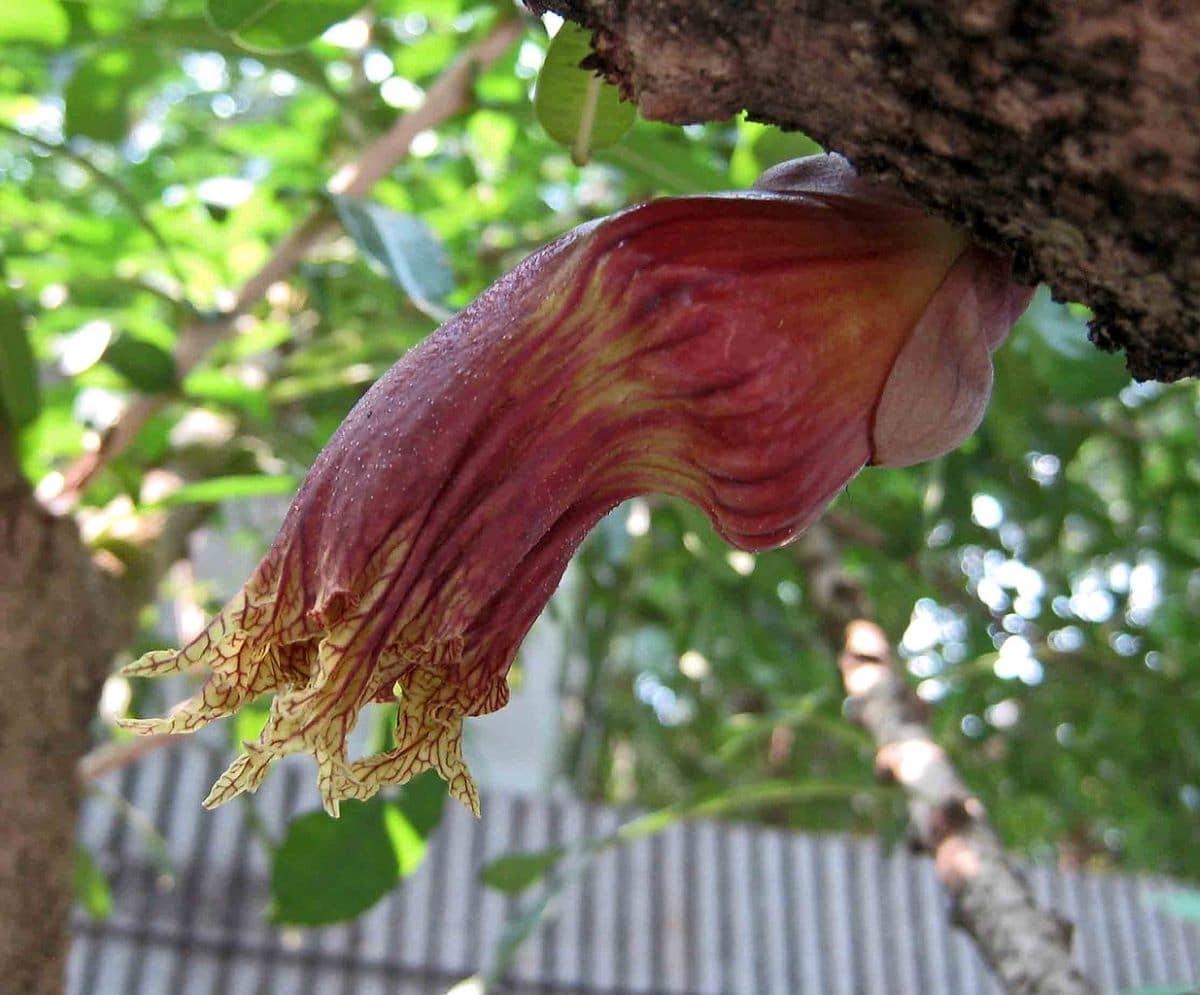 Las flores de la crescentia alata huelen mal