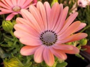 La dimorfoteca es una planta muy decorativa