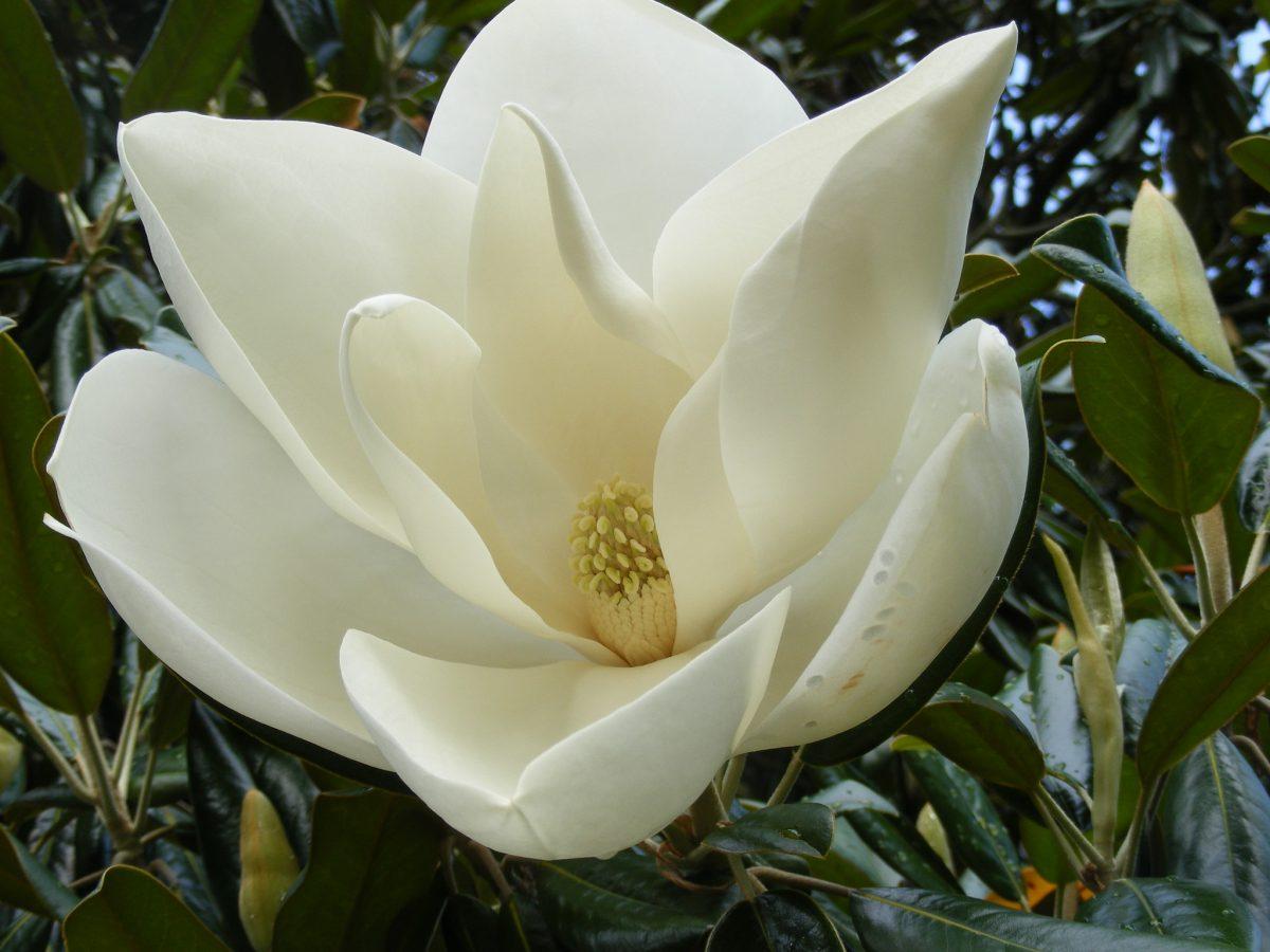 La Magnolia grandiflora tiene flores grandes