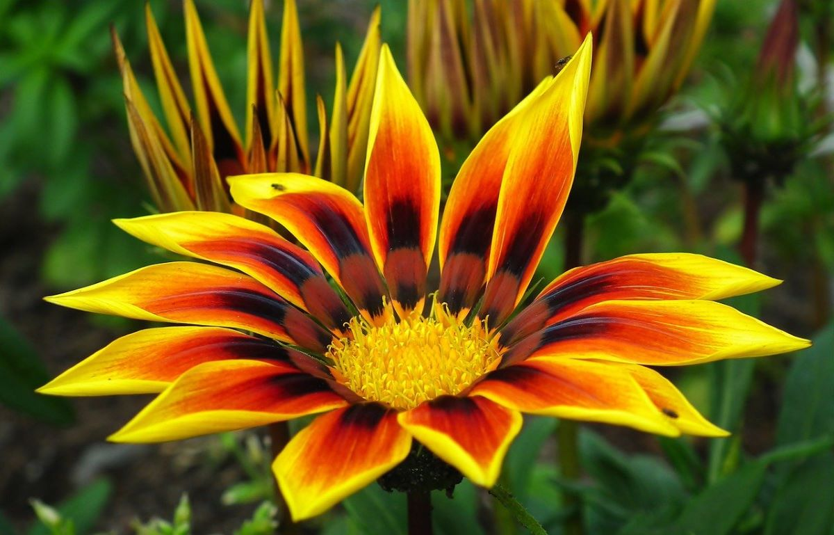 La gazania es una planta que florece en primavera