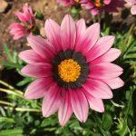 La gazania tiene flores de colores vistosos