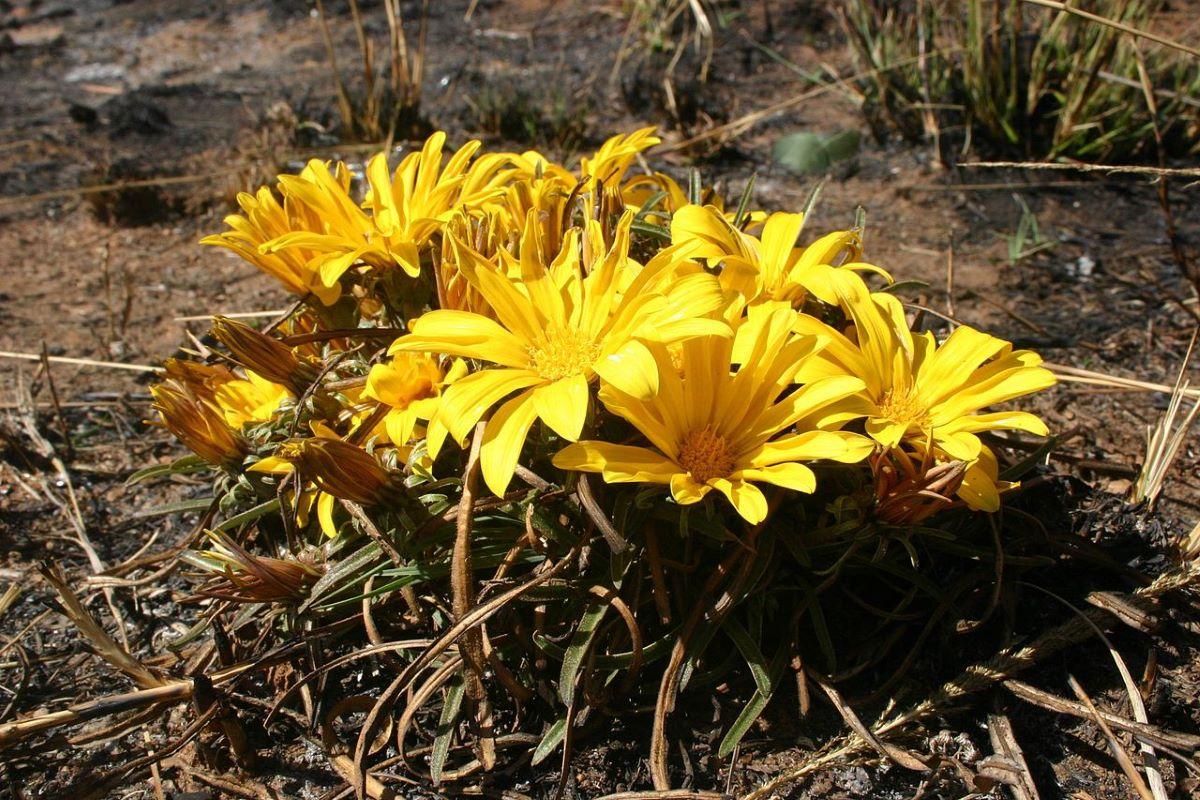 La Gazania krebsiana tiene flores amarillas