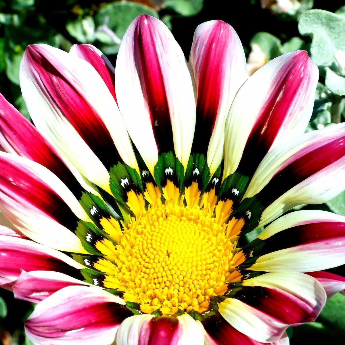La Gazania linearis es una planta de flores grandes