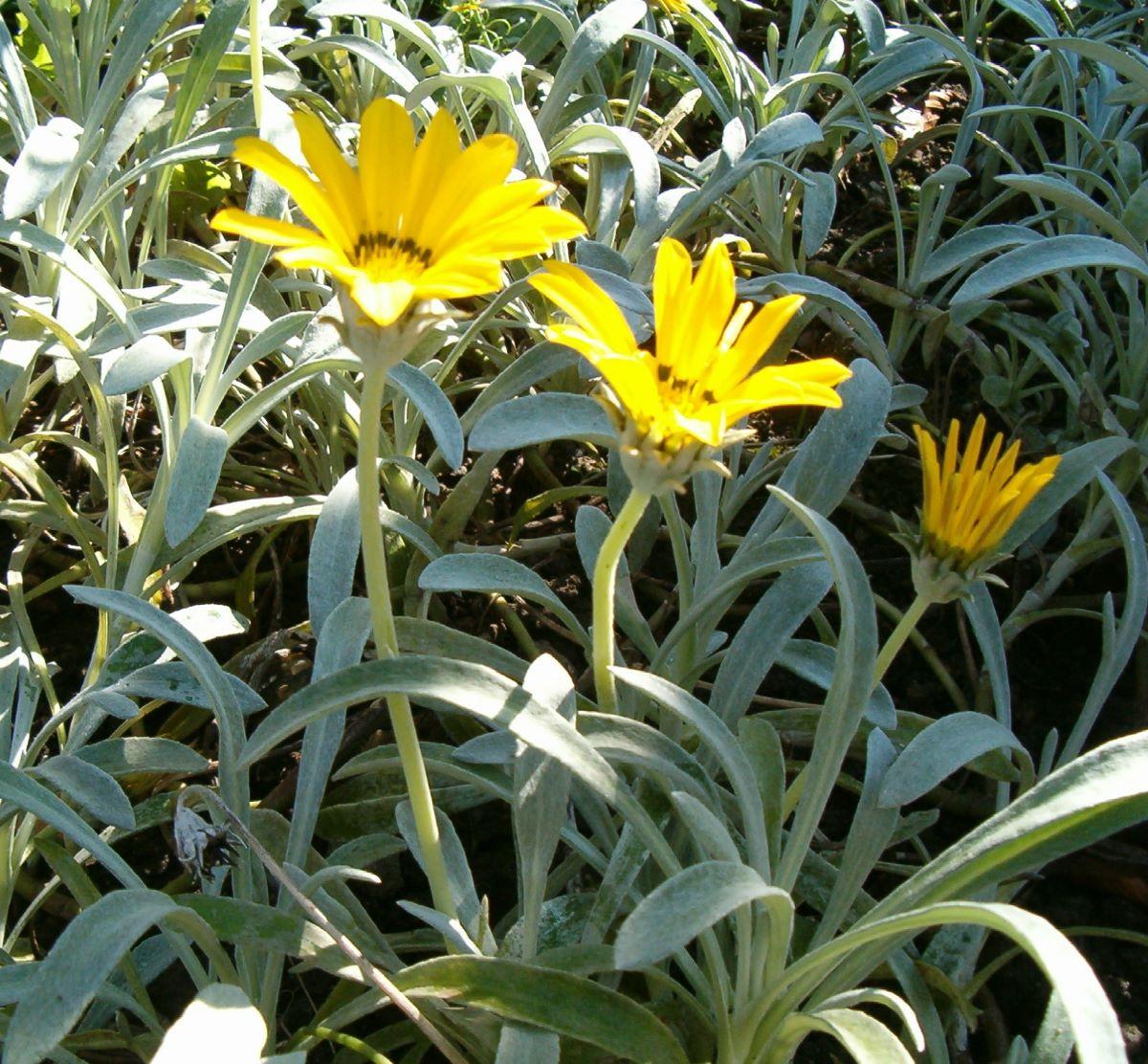 La Gazania nivea es una planta perenne