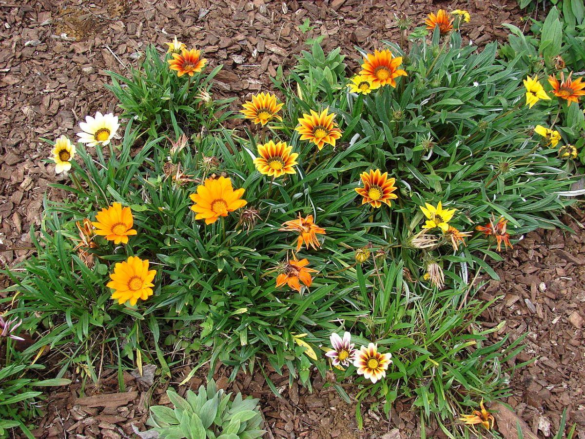 La Gazania rigens es una planta muy florífera