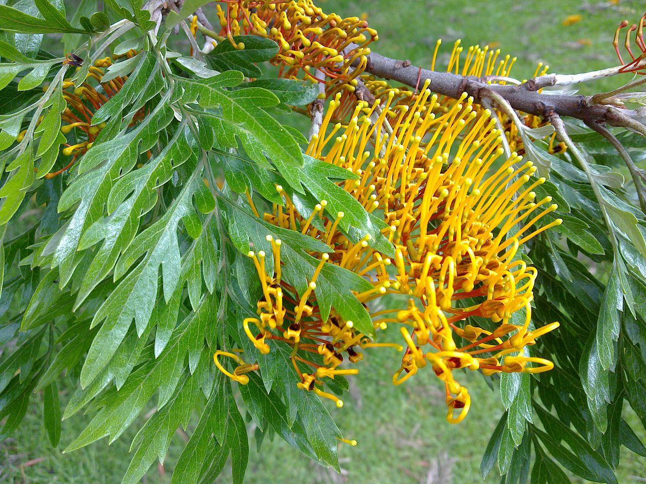 La Grevillea robusta tiene flores amarillas