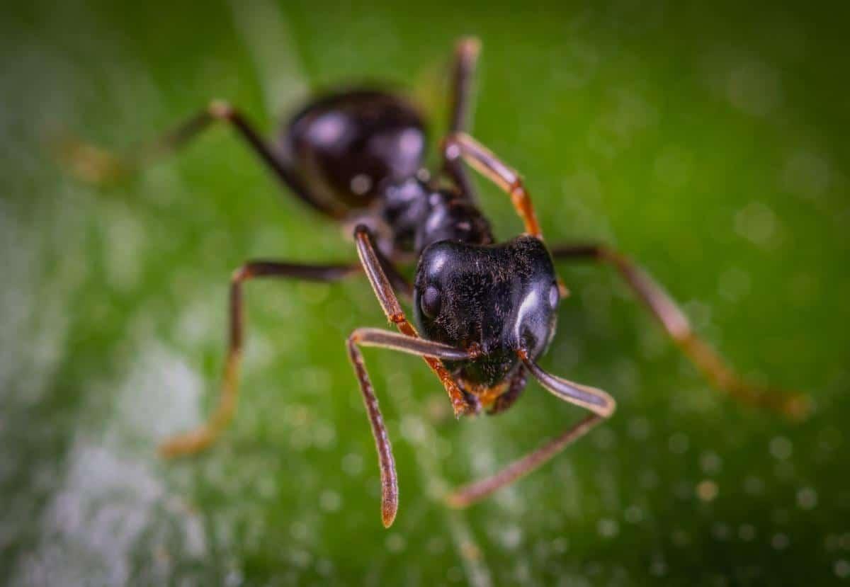 Las hormigas pueden ser beneficiosas