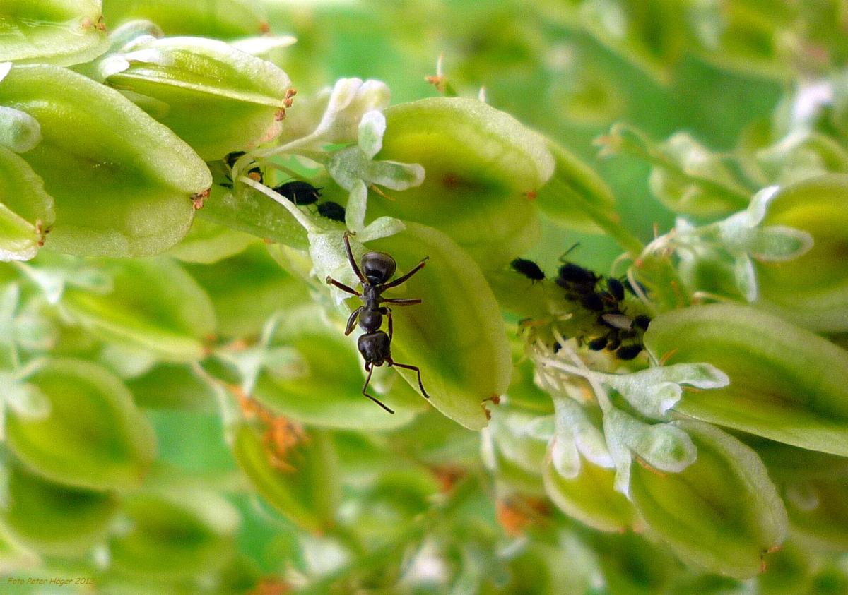 Las hormigas polinizan las flores