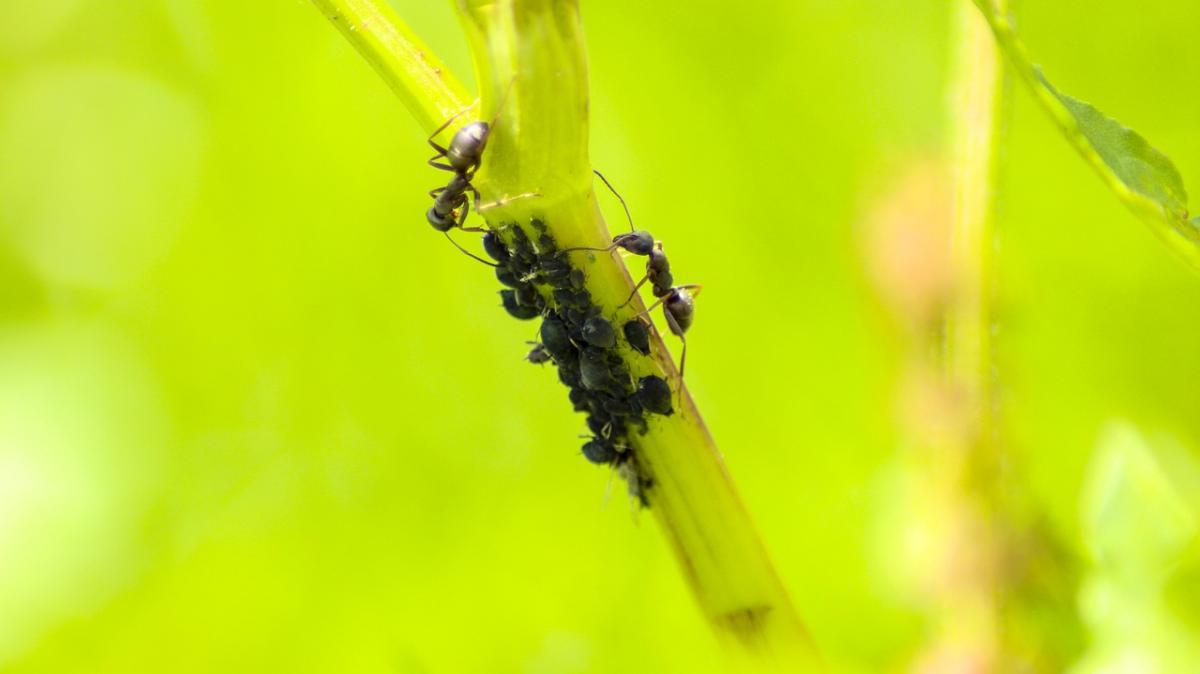 Las hormigas favorecen la multiplicación de los pulgones