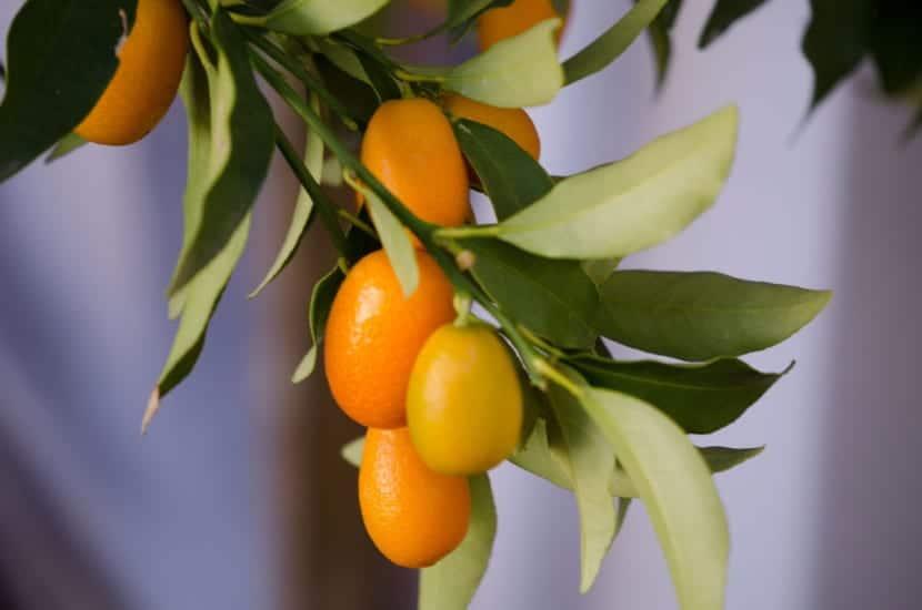 Kumquat, un frutal muy querido