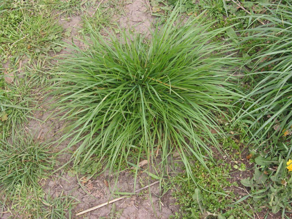 El Lolium perenne es una hierba