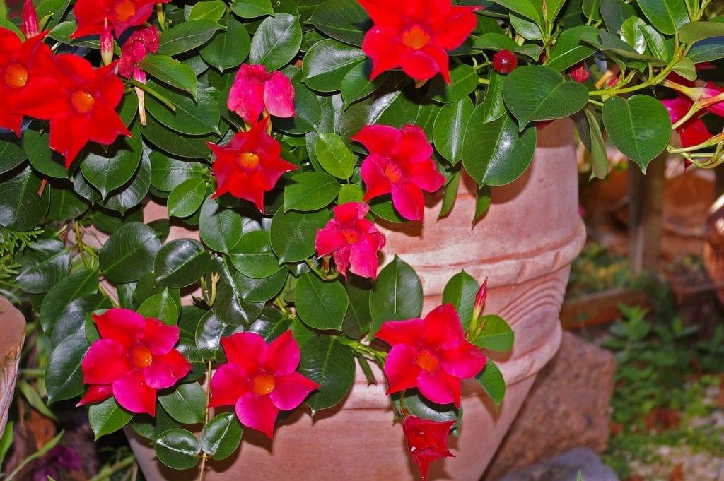 La mandevilla es una enredadera perennifolia