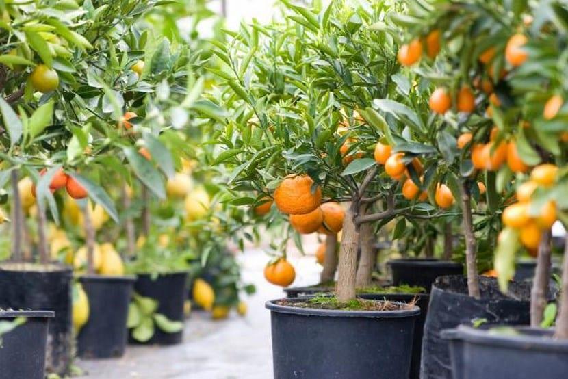 Árboles cítricos en macetas