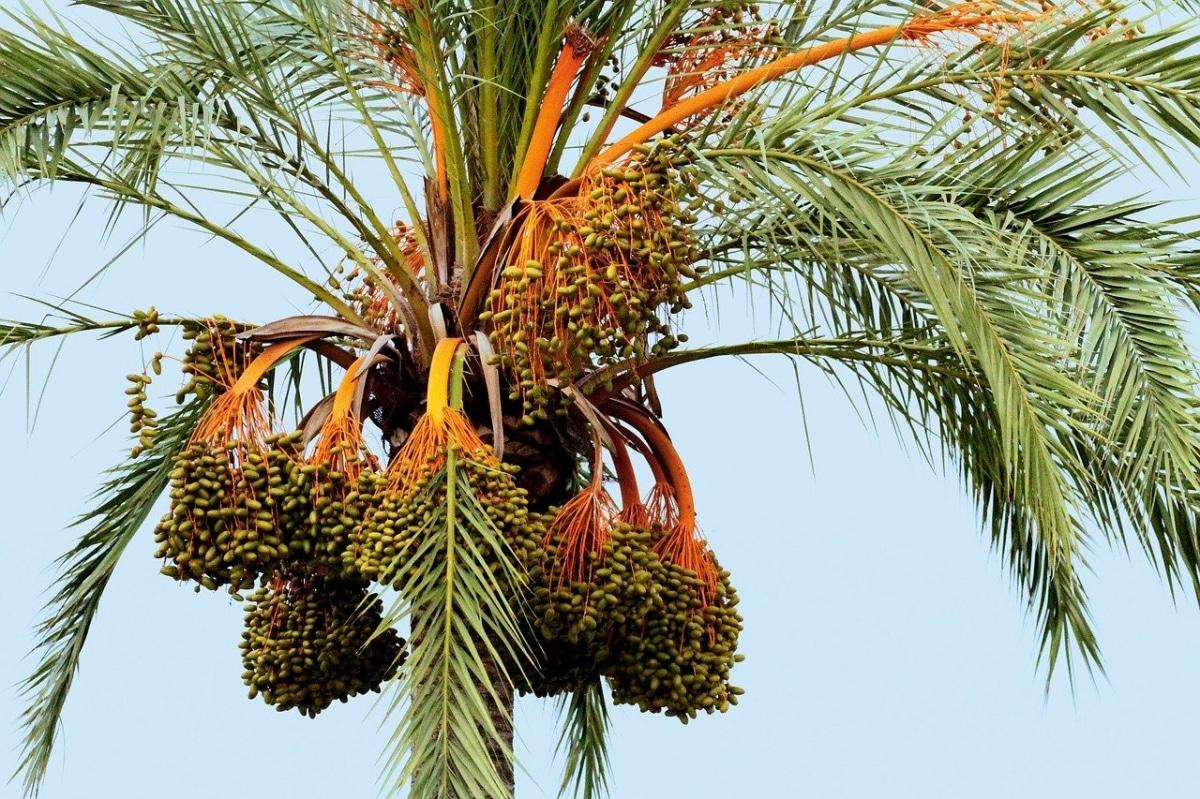 Las palmeras se reproducen por semillas y esquejes