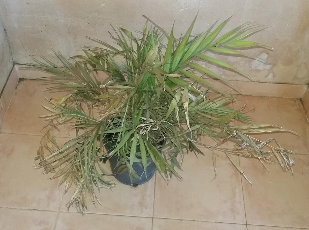 Recuperar una palmera de interior seca - Plantas de interior palmeras ...