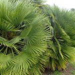 El palmito se multiplica por semillas o esquejes