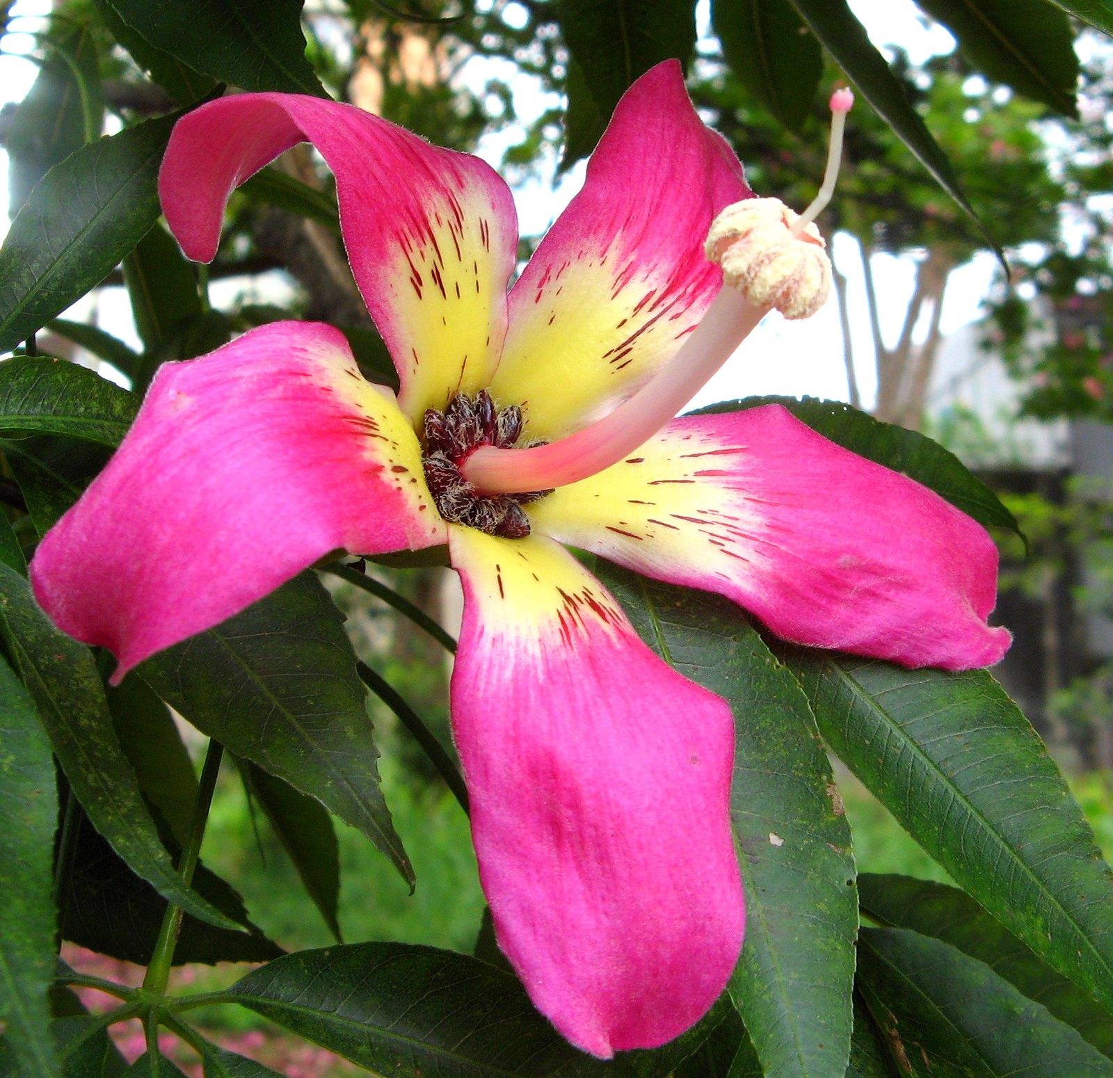 La flor del palo borracho es grande y rosa