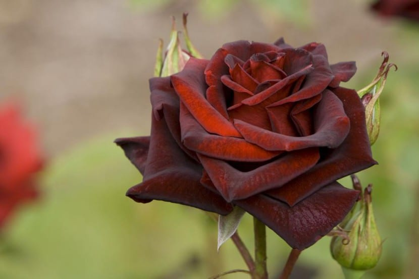 Rosa Perla Negra