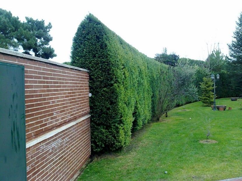 Tipos de setos en el jard n - Setos de jardin ...