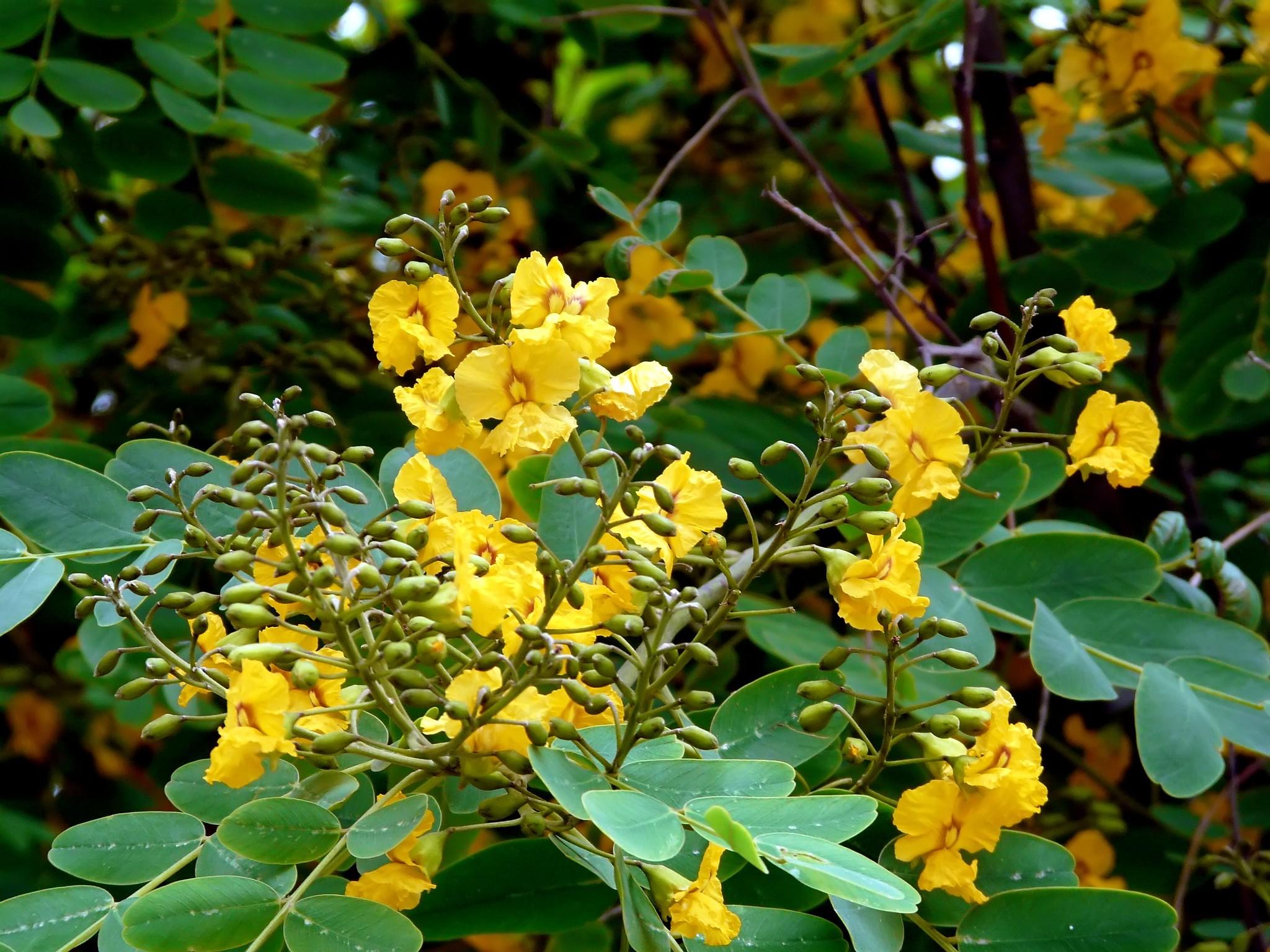 La Tipuana tipu produce flores amarillas