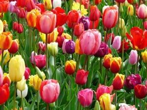 Los tulipanes son plantas estupendas de jardín