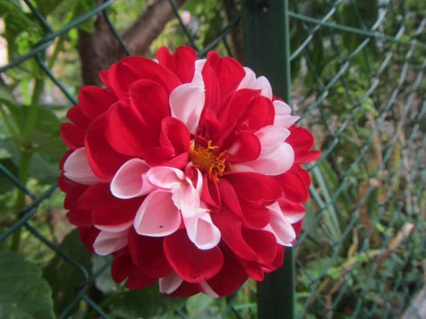 Dalia pompón rosa y blanca