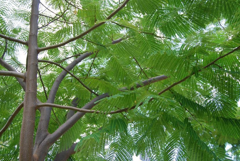Selecci n de rboles tropicales para jard n - Arboles ornamentales para jardin ...