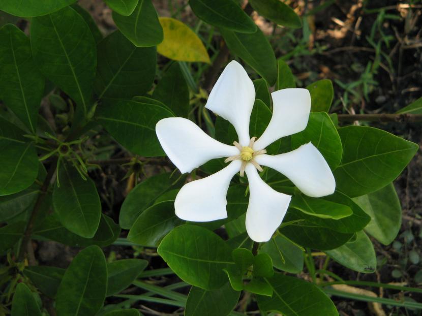 Gardenia angusta