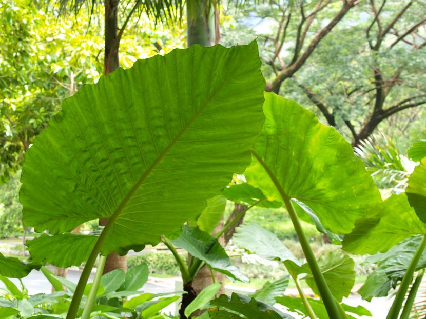 C mo cuidar las plantas de hojas grandes - Plantas de interior grandes ...