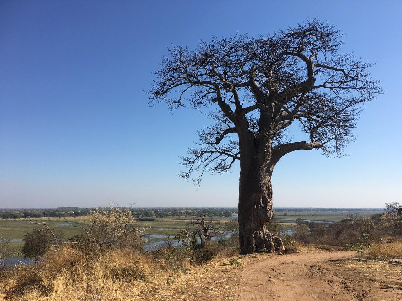 El baobab es un árbol de lento crecimiento